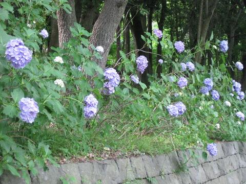 紫陽花-遊水池 (2)