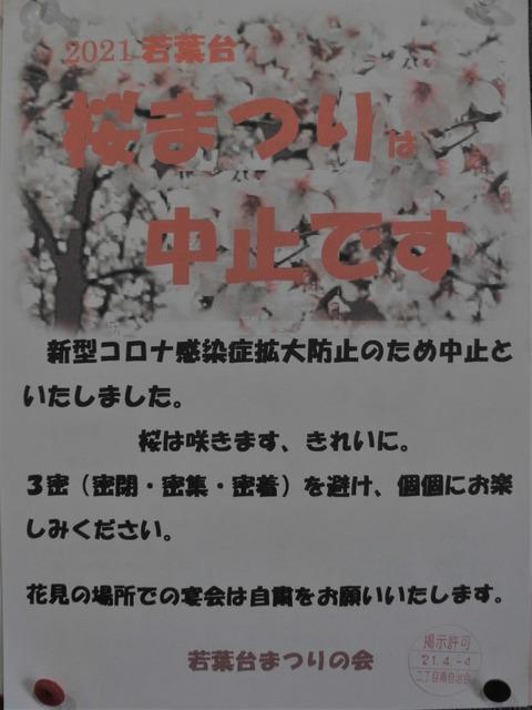 47桜祭り中止