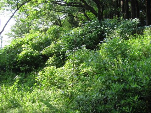 紫陽花 (2)