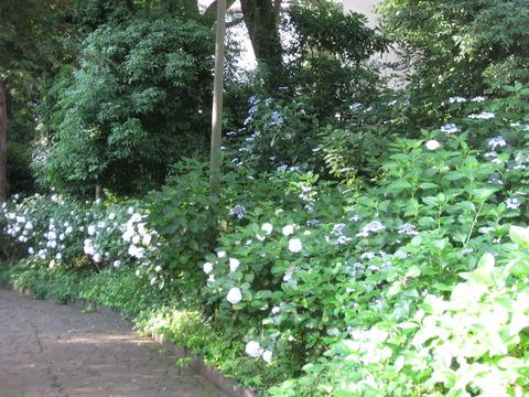 紫陽花-桧山公園付近 (3)