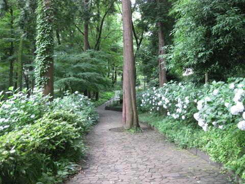 あじさい-桧山公園付近 (3)