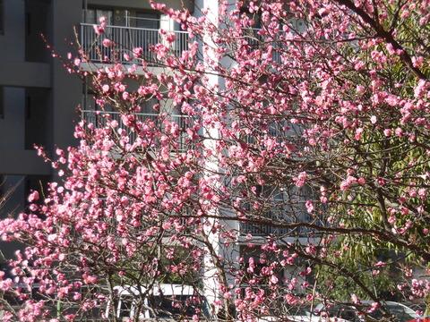 桃の花 (3)