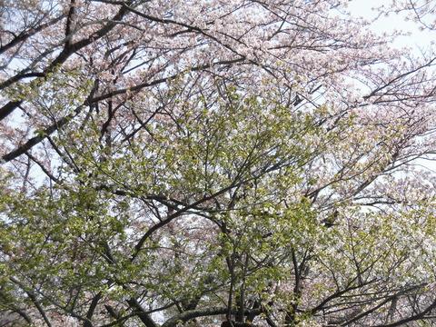 桜まつり、葉桜