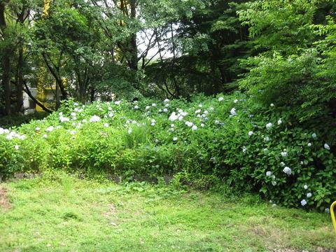 紫陽花-すみれ公園