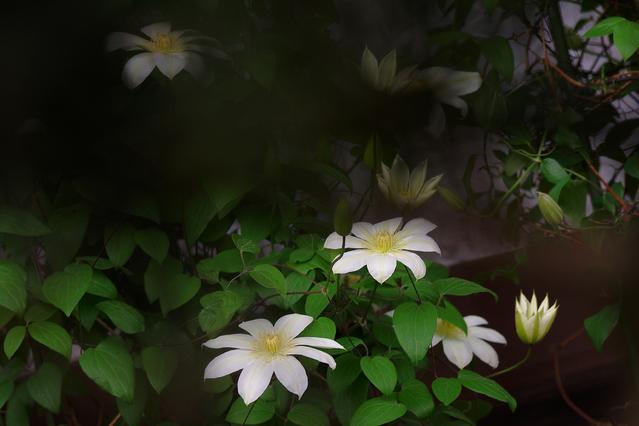 クレマチス白花