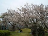 西海橋公園の桜満開
