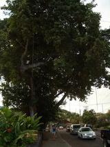 コナの大きな木