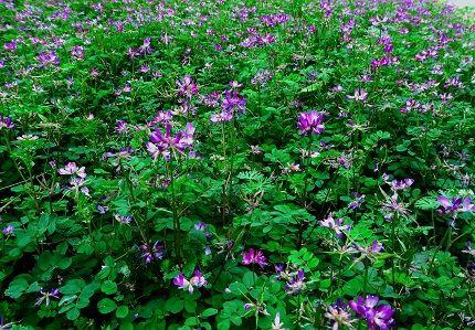 蓮華の花 ab