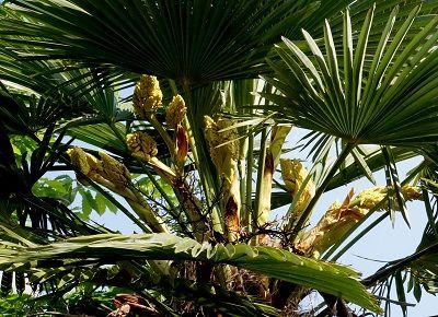 棕櫚ab   (4)