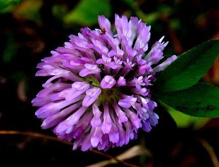 s  紫詰草