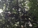 木の上に上った鶏たち