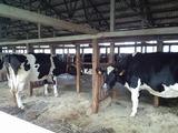 柏木牧場牛