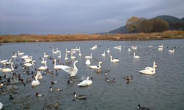 信州・安曇野の御宝田の白鳥湖