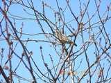 桜と鳥-3/15