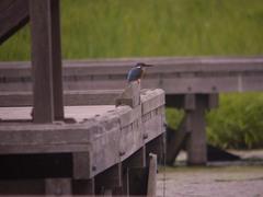 厳島湿生公園のカワセミ3