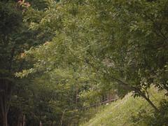 厳島湿生公園のカワセミ1