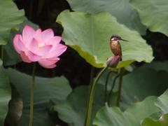 泉自然公園のカワセミ2