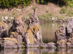 栗林公園のカワセミ3