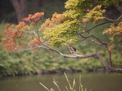 小石川後楽園のカワセミ1