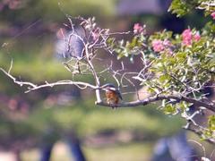 栗林公園のカワセミ1