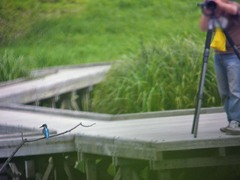 厳島湿生公園のカワセミ4
