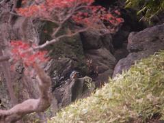 小石川後楽園のカワセミ2