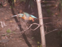 勢いよく飛ぶ弁天池のカワセミ