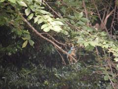 姿見の池のカワセミ1