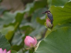 泉自然公園のカワセミ1