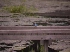 厳島湿生公園のカワセミ2