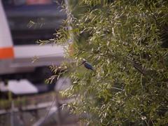 姿見の池のカワセミ4