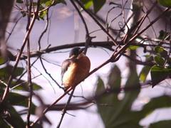 お茶の水池の藪にいたカワセミ