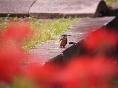 小石川後楽園のカワセミ3