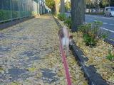 散歩(イチョウの道)