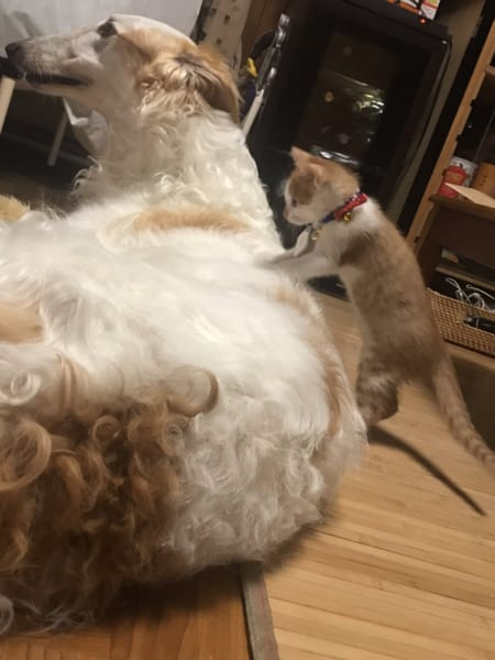 「子猫がこねこね大型犬をマッサージ!? ボルゾイと子猫の生活が微笑ましい」