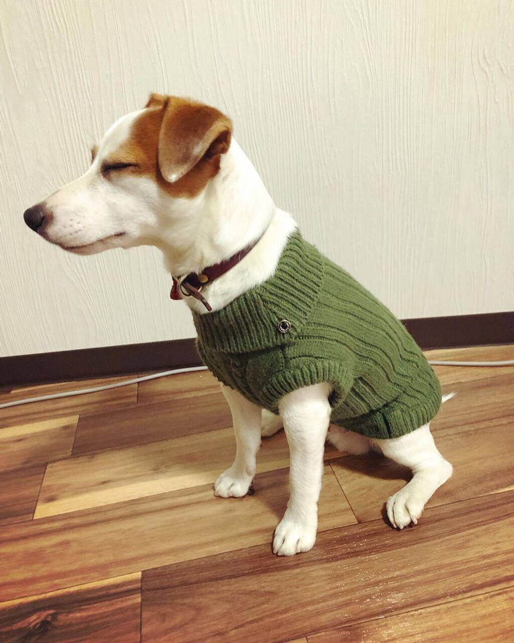 「イッヌ、セーターを着る」