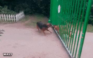 perroos peleando