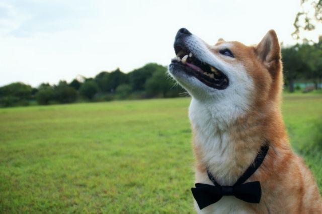 「散歩中に飼い主の方をチラチラ見る犬」