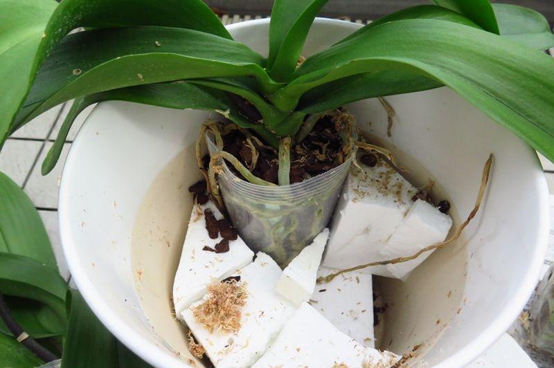 胡蝶 蘭 の 植え 替え 方