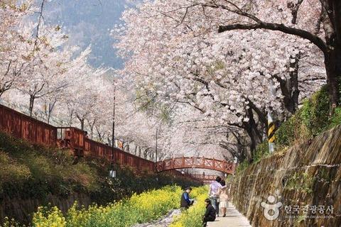 【韓国】 春の花、桜とフリージア。王桜の原産地は日本ではなく済州