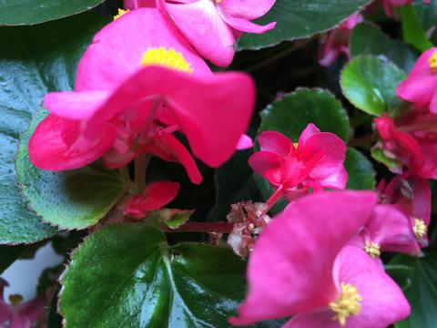 四季咲きのベコニア
