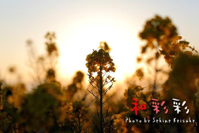 2299夕陽を背に咲く