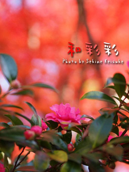 赤の中の山茶花