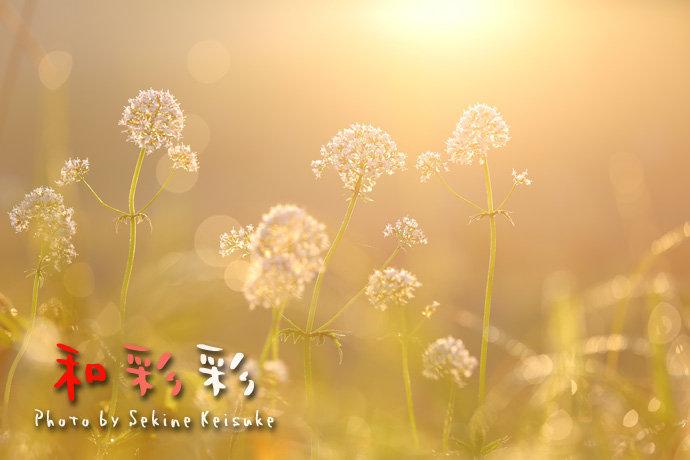朝日に花咲く
