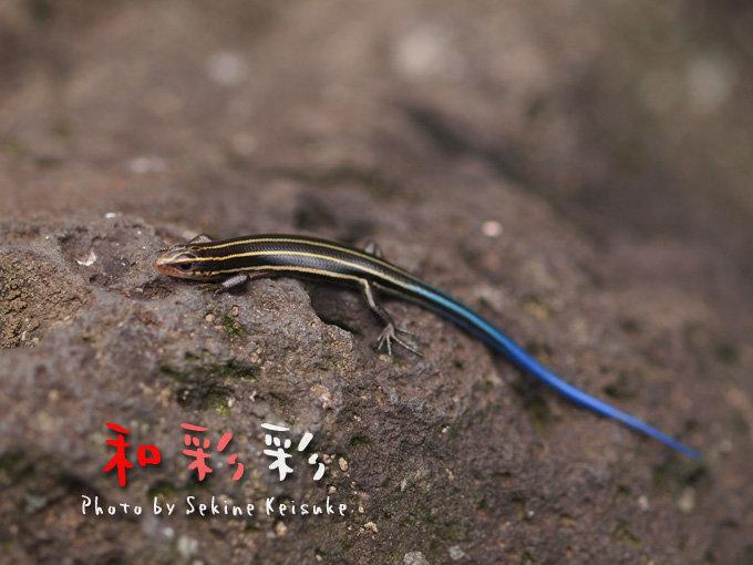 尻尾 青い トカゲ