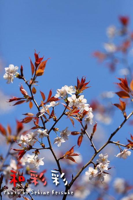 2665青空下の山桜