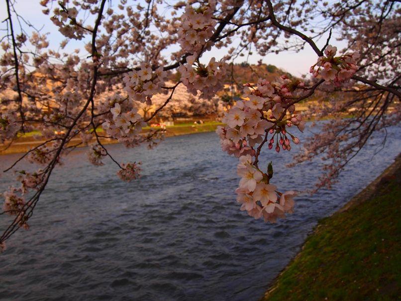 金沢の桜は団子が美味しくなる(浅野川沿い)