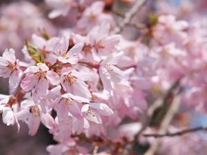 桜のお花見にも間に合いました。