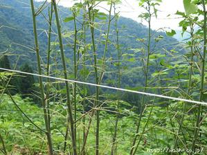 五箇山和紙の楮(こうぞ)芽かき体験 (葉を食べられた楮)