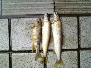 2008年7月28日「浅野川の氾濫」 会社の前には鮎